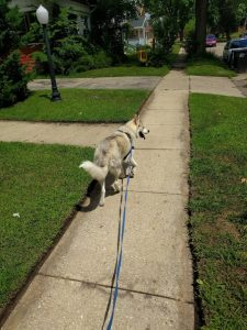 Lugh on a Walk - Puppy Tutor Dog Training