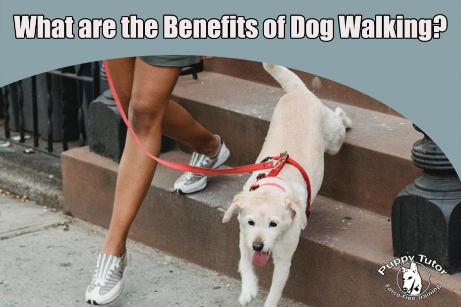 What are some benefits of dog walking