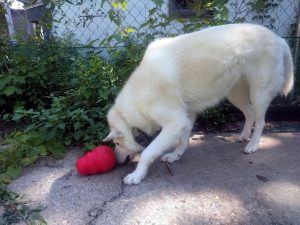 Loki with His Kong Wobbler - Puppy Tutor Dog Training