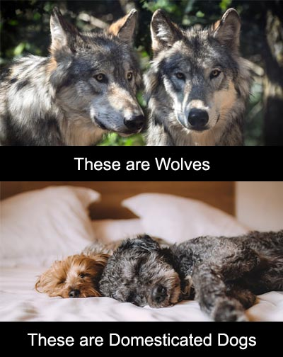 Domesticated Dogs are Not Wolves