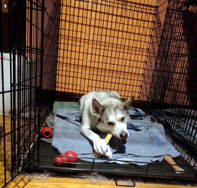Lugh Enjoying His Nylabone in His Kennel