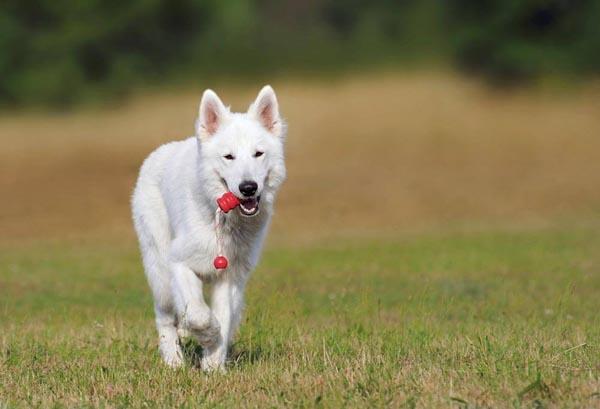 Hurry Dog
