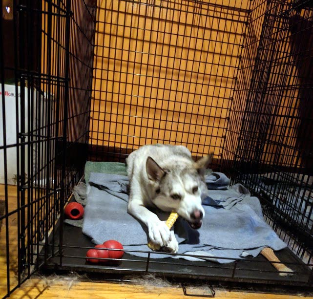 Lugh in Kennel with Chewbone